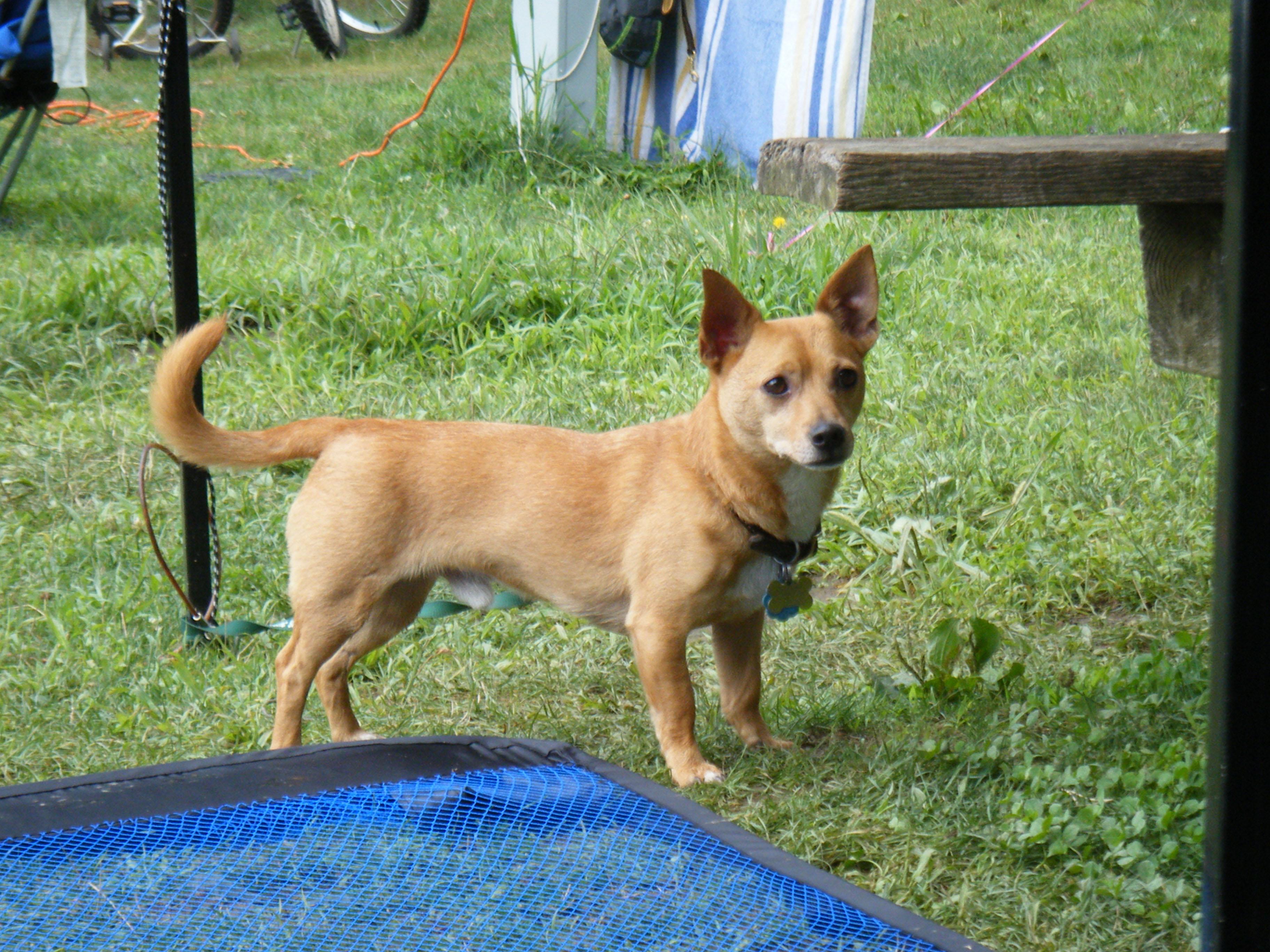 ... is a chihuahua dachshund mix chiuaua weiner dog mix chihuahua wiener